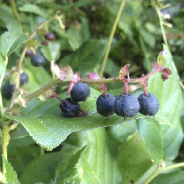 Salal Seeds (Gaultheria shallon)
