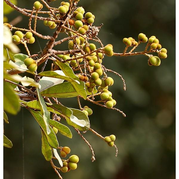 Sapindus Detergens Seeds ( Soapnut Tree Seeds)