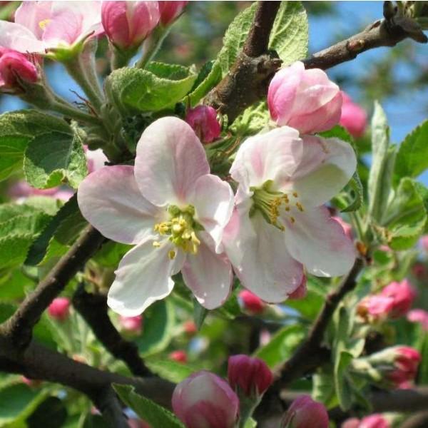 Shakar Apple Seeds (Malus sieversii)