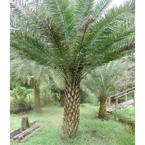 Silver Date Palm Seeds