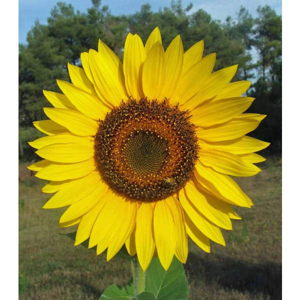 Helianthus Giganteus Seeds (Giant Sunflower Seeds)