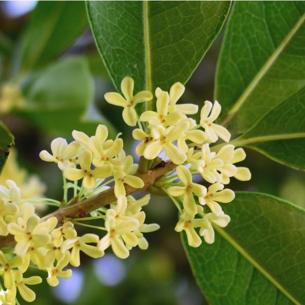 Sweet Olive Seeds (Osmanthus fragrans)