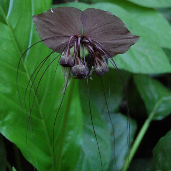 Tacca Chantrieri Seeds (Black Bat Flower Seeds, Cat's Wiskers Seeds)