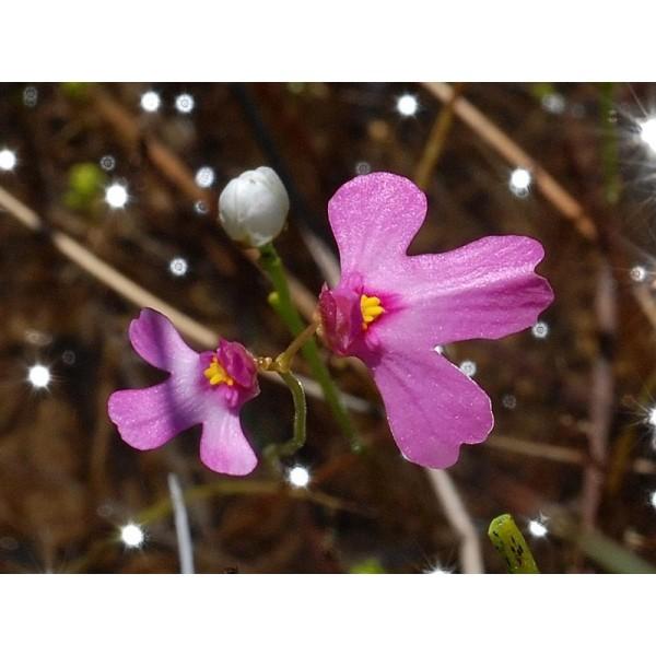 Utricularia Multifida (Polypompholyx)