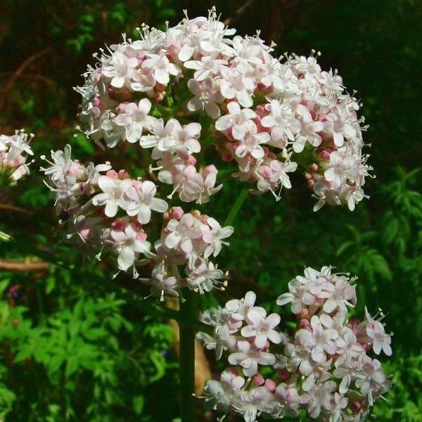 Parthenocissus Tricuspidata (Boston Ivy)