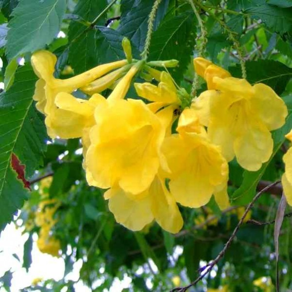 Tecoma Stans Seeds (Yellow Elder, Yellow Trumpet Bells)