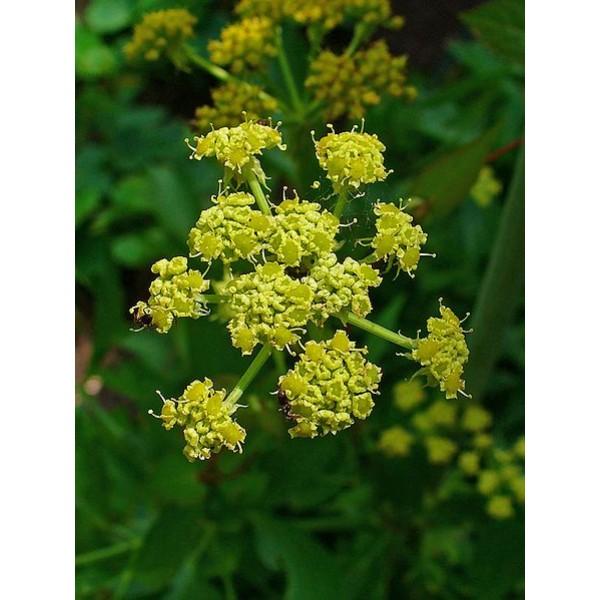 Buy Lovage Seeds Online Rarexoticseeds