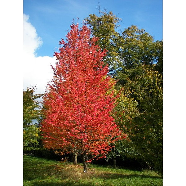 Buy Red Maple Tree Seeds Online Rarexoticseeds