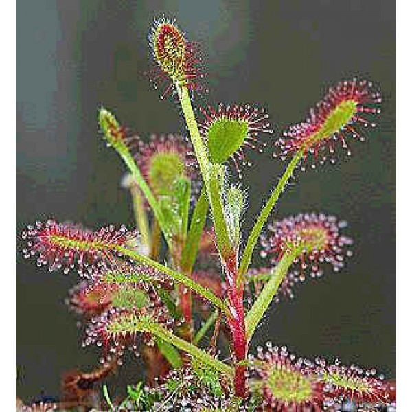 Drosera Madagascariensis Seeds (South African)
