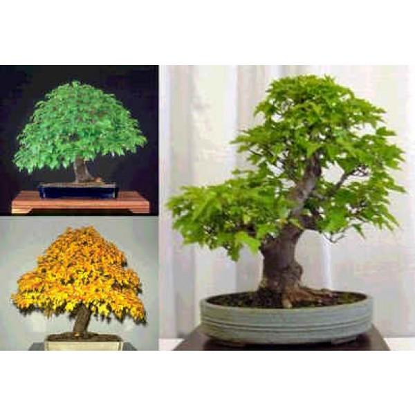 Buy Amur Maple Seeds Online Rarexoticseeds