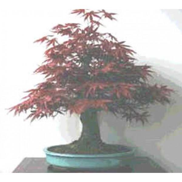 graines bonsaï F 10 graines de acer palmatum Atropurpureum