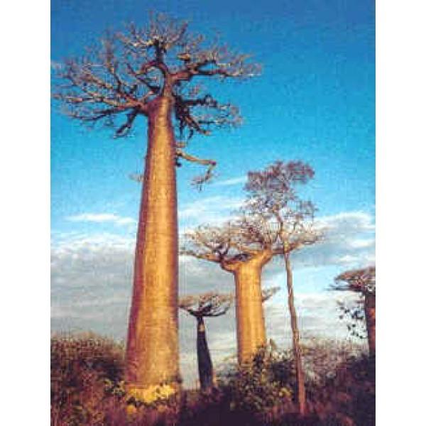African Baobab Tree 10 Seeds Excellent Bonsai Adansonia Digitata