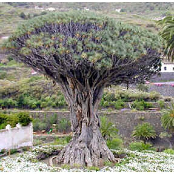 *Rare Exotic* Dragon Tree Seeds Dracaena draco subsp 5 Seeds draco Succulent