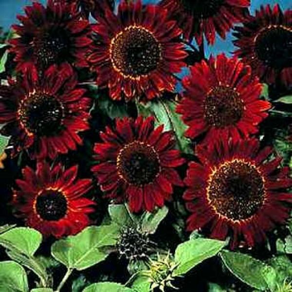 Sunflower Plant Seeds - (Helianthus Chocolate Seeds)
