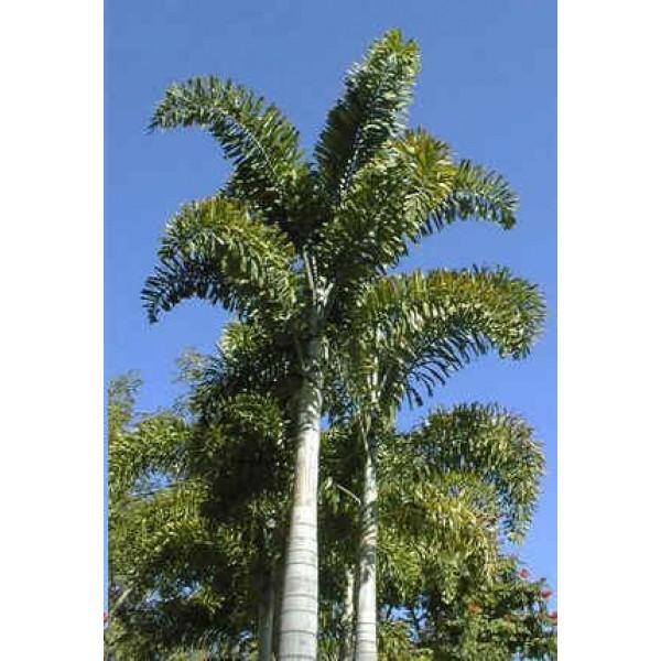 the foxtail palm *UNCLE CHAN* 5 seeds Wodyetia bifurcata