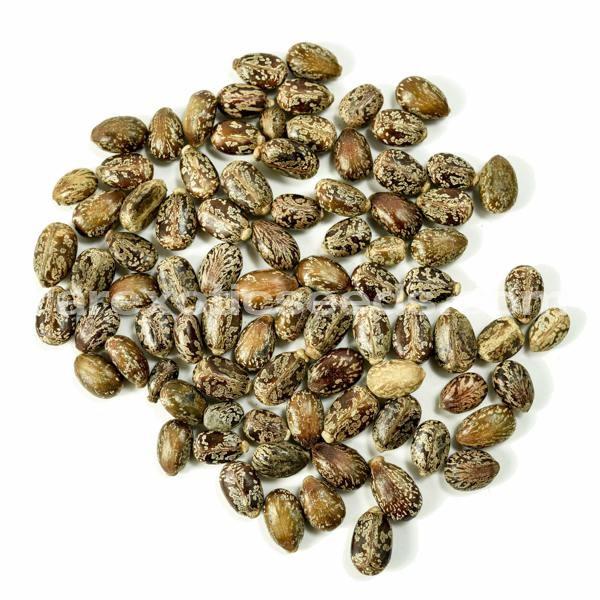 Buy Castor Oil Plant Seeds - Rarexoticseeds