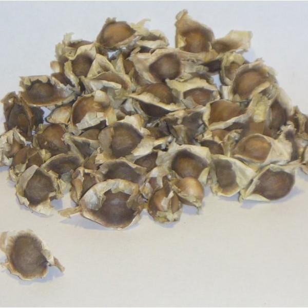 Buy Moringa Oleifera Seeds - Rarexoticseeds