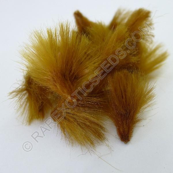 Buy Sugarbush Protea Seeds Rarexoticseeds