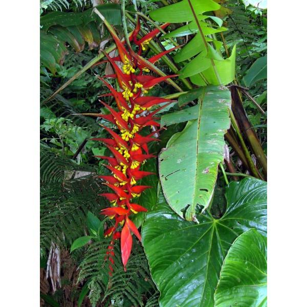 Heliconia librata Graines-totalement fleurs tropicales Banana feuillage!