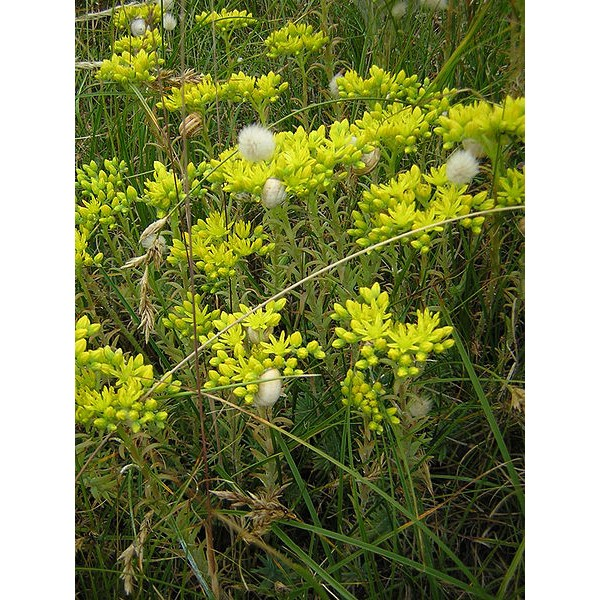 Graines Sedum Rupestre (Sedum Reflexum, Orpin des rochers, Orpin réfléchi)