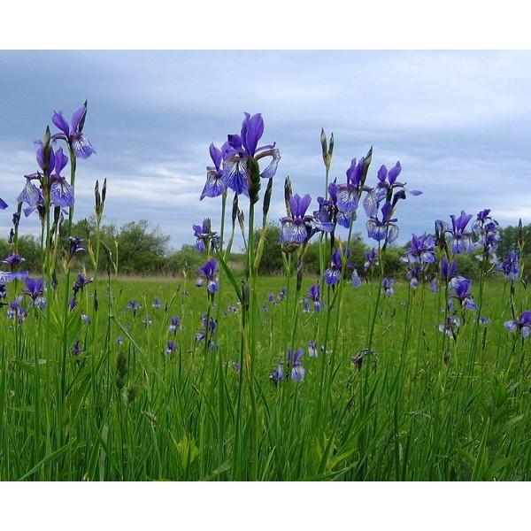 Graines Iris Sibirica (En Mélange)