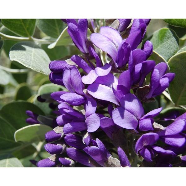Sophora secundiflora Seeds (Calia secundiflora Seeds, Dermatophyllum secundiflorum Seeds)
