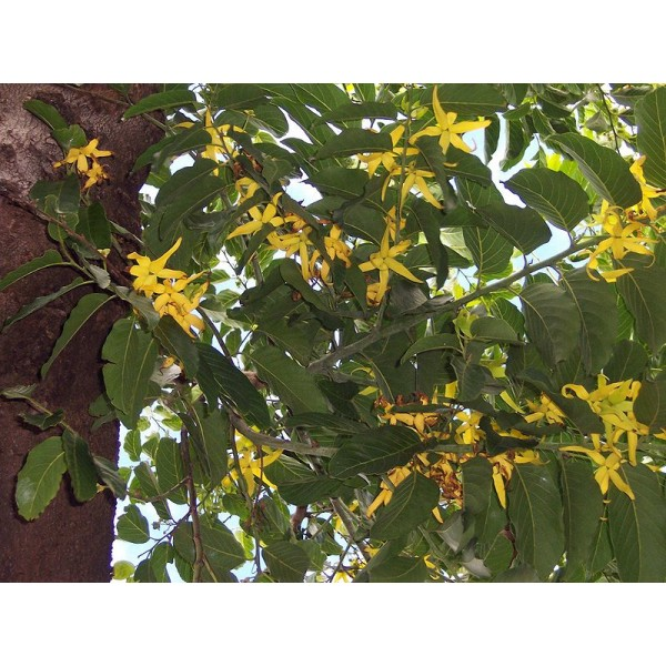 Graines Artabotrys Odoratissimus (Faux Ylang Ylang)