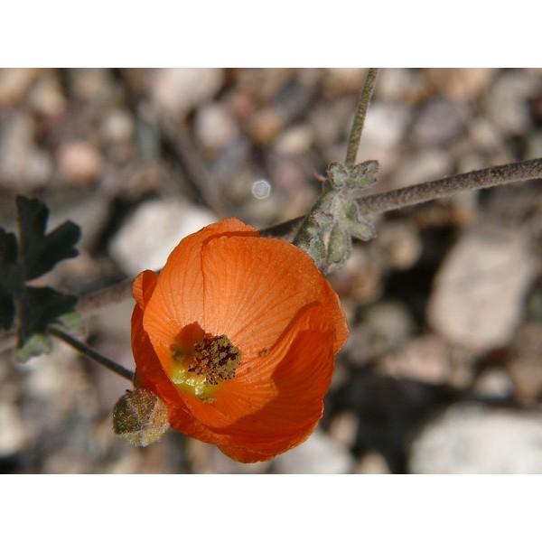 Sphaeralcea ambigua Seeds (Desert Globemallow Seeds, Apricot Mallow Seeds)