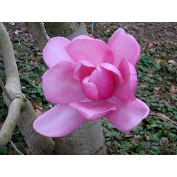 Graines Magnolia Campbellii (Campbell Magnolia)