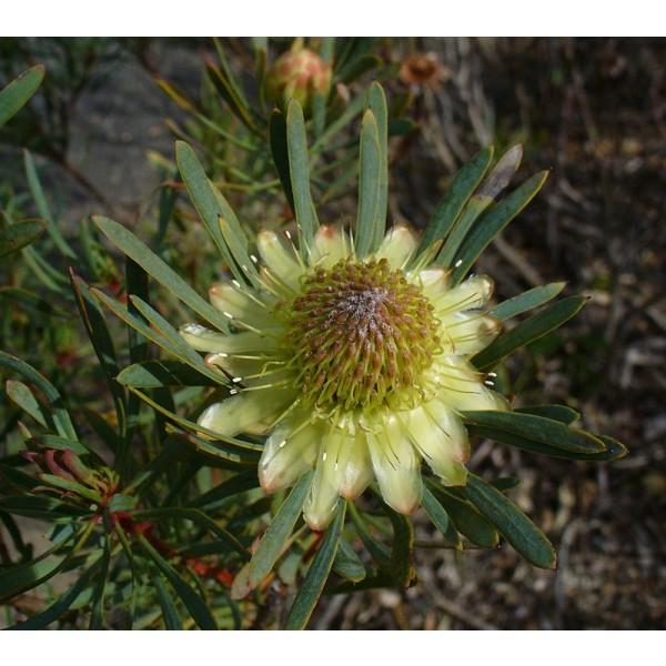 Graines Protea Scolymocephala