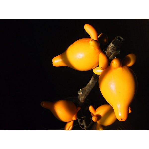 Graines Solanum Mammosum (Graines Morelle Mammée)