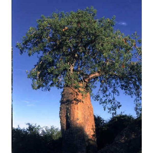 Adansonia Fony (Adansonia Rubrostipa, Baobab de Madagascar)