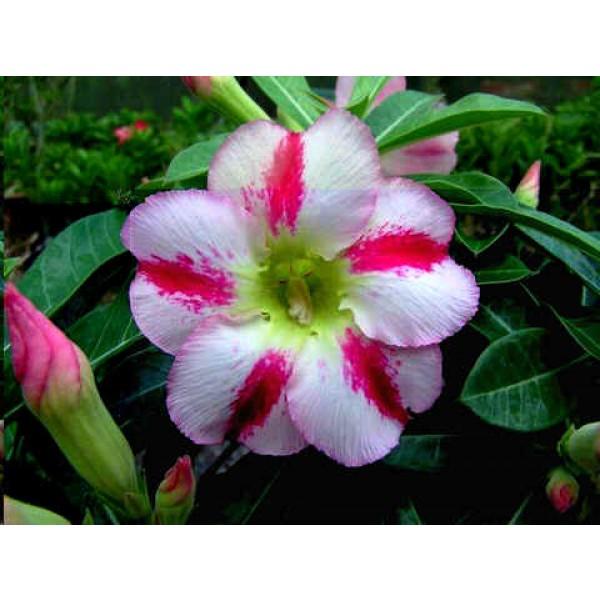 Graines Adenium (Délice Parfumé)