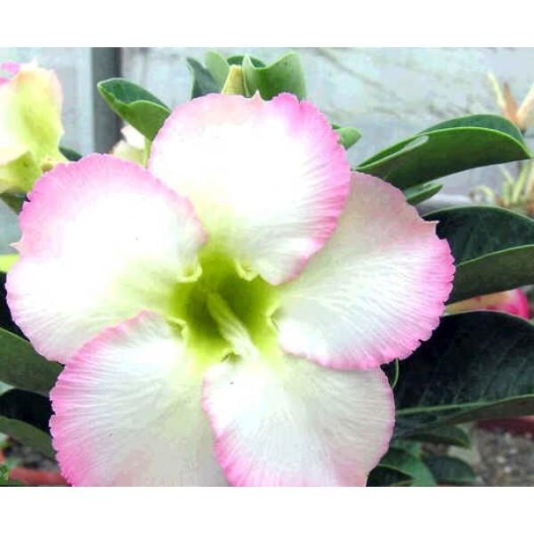 Graines Adenium (Super Parfumée)