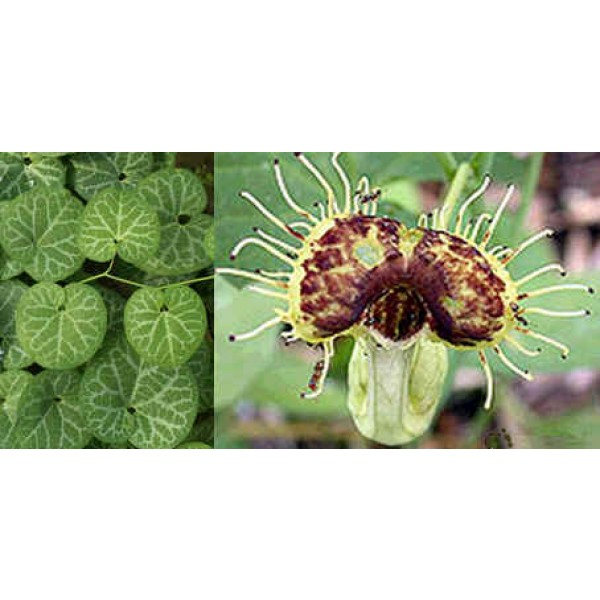 Aristolochia Fimbriata (Pipe du Hollandais à Veines Blanches)