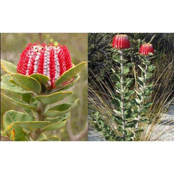 Graines Banksia Coccinea (Graines Banksia Écarlate)