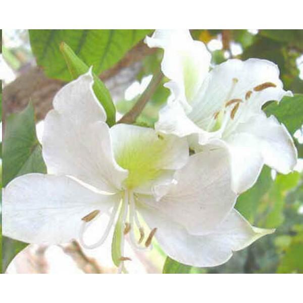 Bauhinia Purpurea Blanc (Arbre à Orchidées, Bauhinier, Bauhinies)