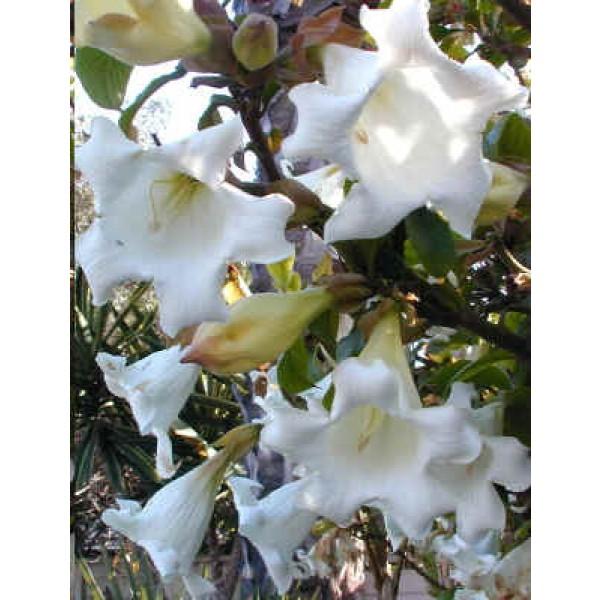 Beaumontia Grandiflora (Bougainvillea Glabra Blanc, Bougainvillier)