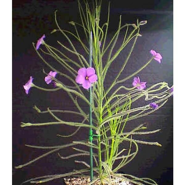 Graines Byblis Lamellata (Plante Arc-En-Ciel)