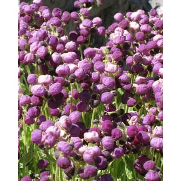 Graines Calceolaria Arachnoidea (Graines Capachito)