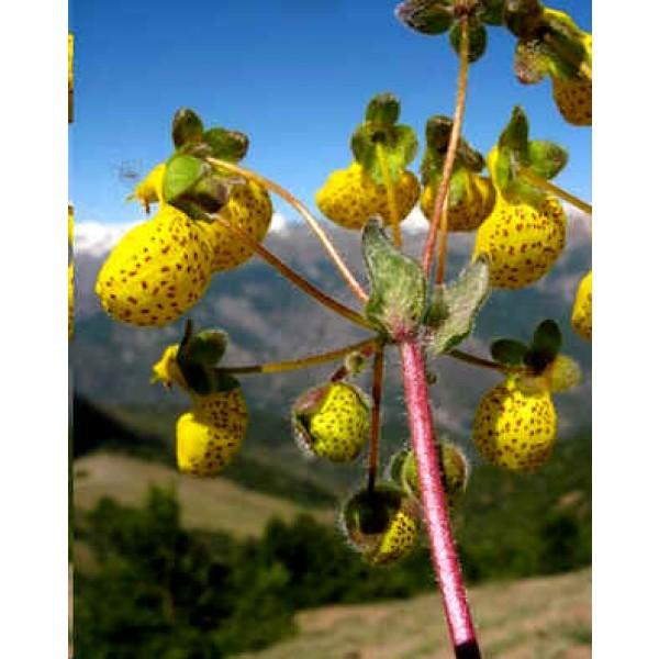 Graines Calceolaria Corymbosa Floccosa