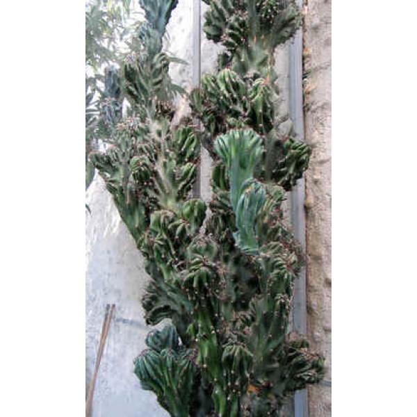 Graines Cereus Peruvianus Monstruosus