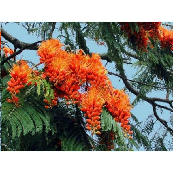 Graines Colvillea Racemosa