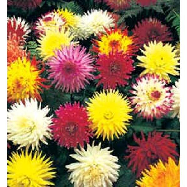 Graines Dahlia Cactus (En Mélange)
