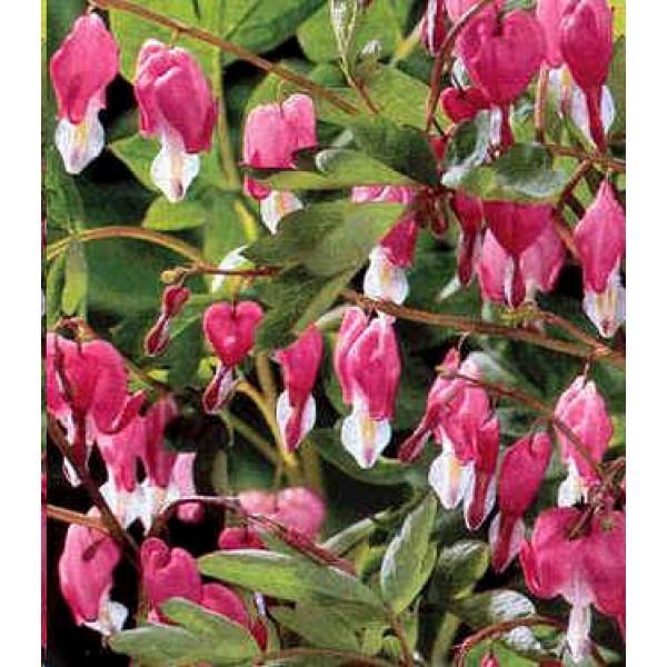 Graines Dicentra Spectabilis Rose (Coeur Saignant, Coeur de Marie)