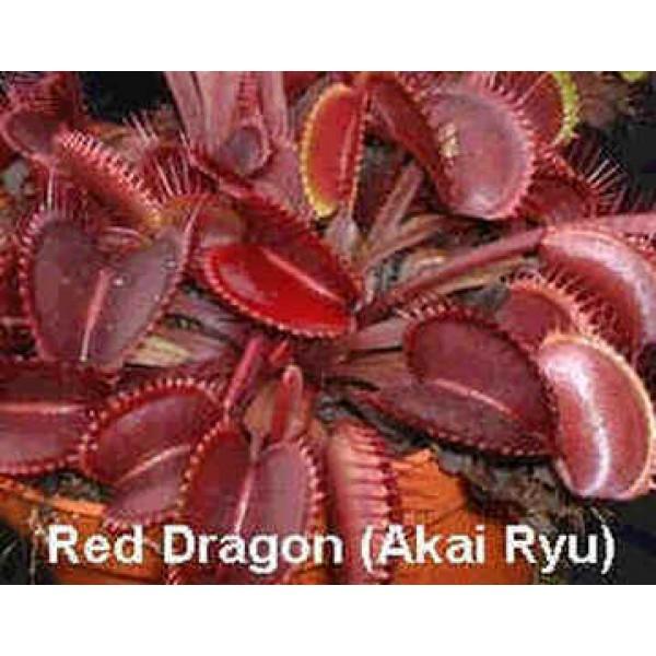 Dionée Muscipula Formes Rouges (Attrape-Mouches)