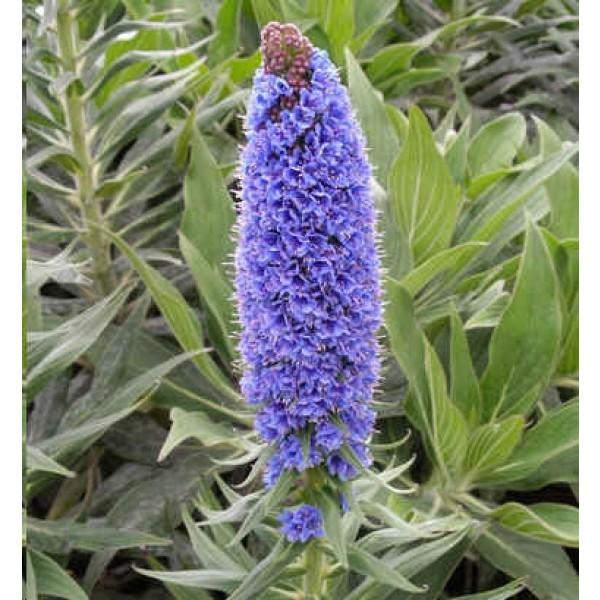 Graines Echium Fastuosum (Graines Vipérine de Madère)