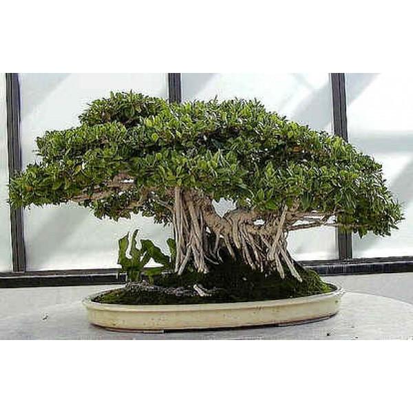 Graines Ficus Benghalensis (Graines Figuier des Banyans)