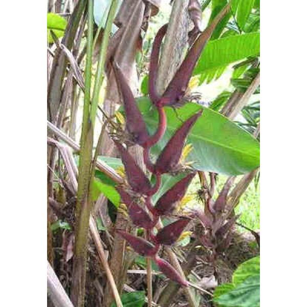Heliconia Sclerotricha