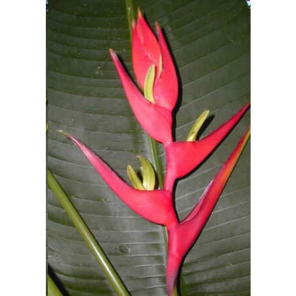Graines Heliconia Vellosiana Rouge